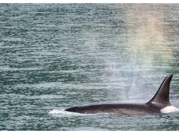 Schwertwale